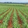 vendo  maiz safrinha en todo el paraguay