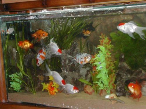 Estos pecesillos mundo poes a foros de poemas for Peces de pecera