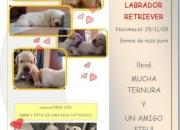 VENDO cachorros LABRADOR de raza pura,pelaje dorado