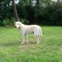 vendo cachorros labradores de padre puro, con pedigree!!!!!!!!!!!!!!!!