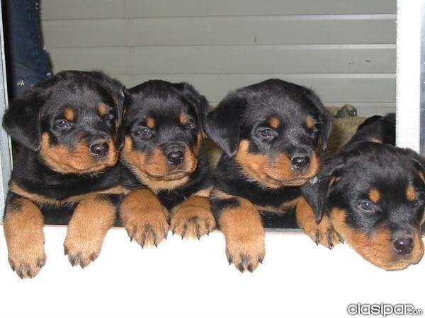 Rottweiler cachorros - venta cachorros rottweiler en paraguay
