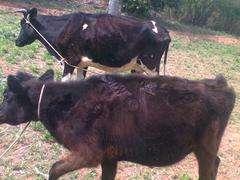 Estoy queriendo vender un animal vacuno (vaca lechera)