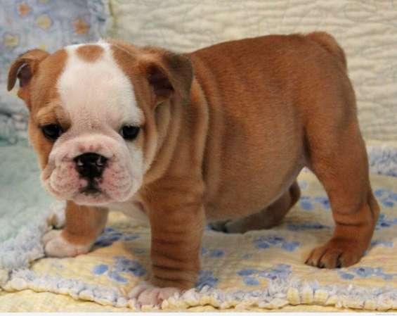 Bulldog inglés cachorros>>>gratis)
