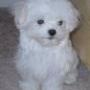 Adorable cachorro maltés sobre la adopción