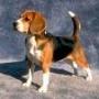 Vendo Beagle por viaje