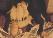 Vendo cachorros labradores nacidos el 15 sept.2008