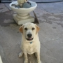 Vendo hermosos cachorritos Labradores Retriver