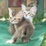 Caracal serval y gatitos para la venta