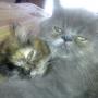 Vendo gatitas persas
