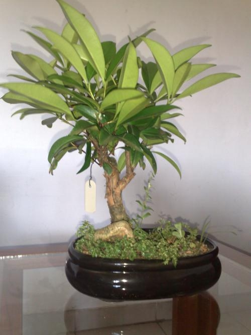 Bonsai Para La Venta En Asuncion Decoracion Y Jardin 10164