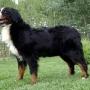 Boyeros de Berna,cachorritos increibles!!!!!!!!!!!!!!!!!!!
