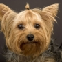 VENDO CACHORRITO YORKSHIRE TERRIER