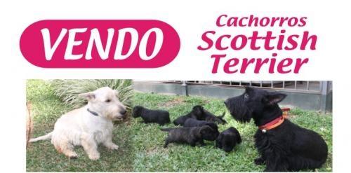 Cachorros scottish terrier