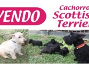 Cachorros Scottish Terrier