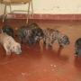 Vendo cachorritos Fila Brasilero