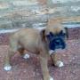 Vendo cachorros raza Boxer