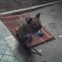 vendo american pitbull terrier