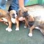 Venta de Cachorros Boxer Tel 0981518428 Sr. Oscar