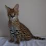 Savannah, Safari, Caracal, Cheetah y  Serval gatitos
