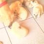Vendo cachorros de raza pura labrador golden