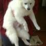 Cachorros Volpino Italiano!