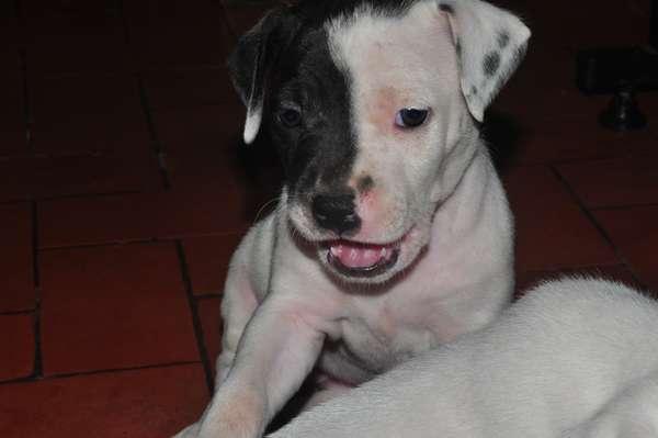 Vendo hermosos cachorritos pitbull 100% puro