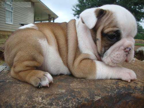 Bueno buscando bulldog inglés cachorros para su aprobación