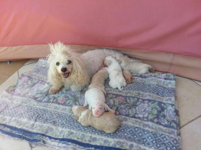 Caniches recien nacidos a buen precio