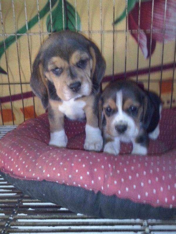 Cachorros beagle tricolor, macho y hembra disponible de 45dias de edad