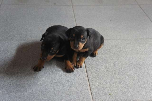 Cachorro pinscher 1 disponibles