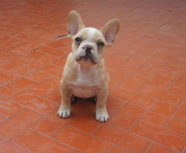 Cachorro bulldog frances crema.