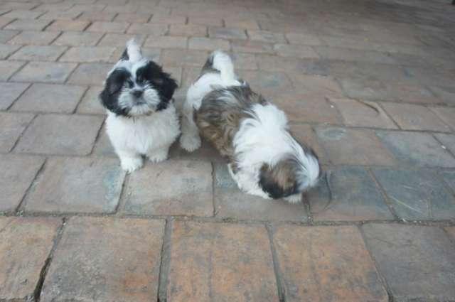Cachorros shitzu tricolor macho y hembra