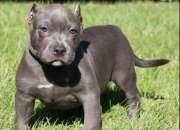 Cachorros Pitbull Bully, Baja Estatura, Y Fuerte Estructura