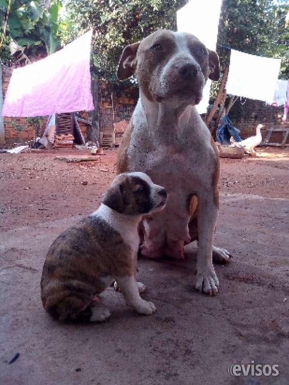 Fotos de Cachorros pitbull 45 días 3