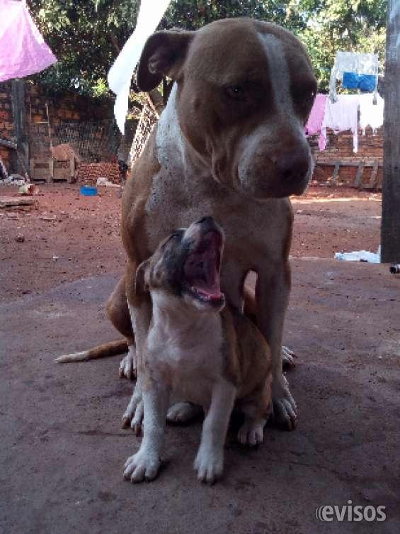 Fotos de Cachorros pitbull 45 días 1