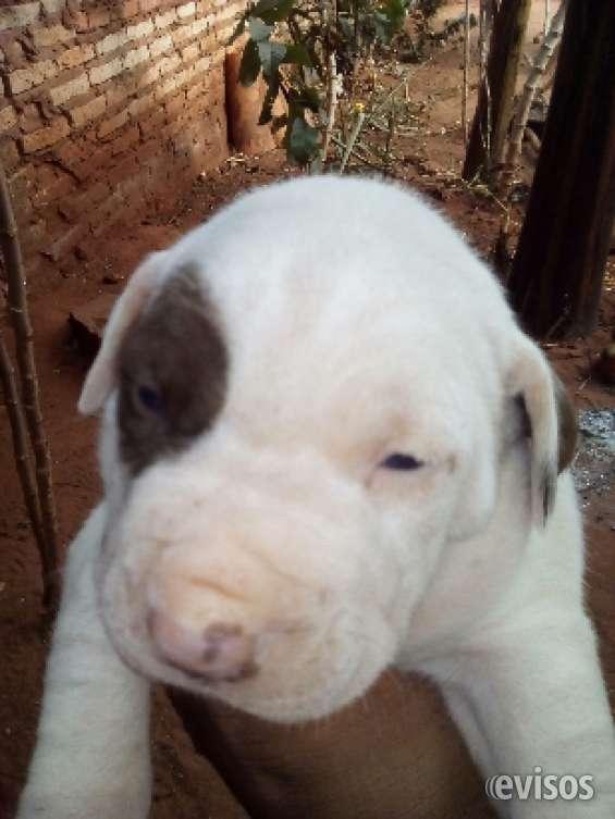 Fotos de Cachorros? pitbulls!!a la venta!! 1