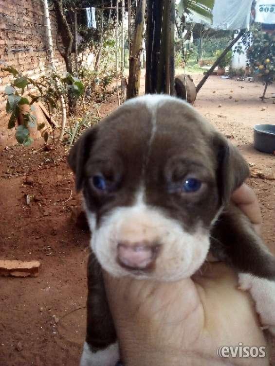 Fotos de Cachorros? pitbulls!!a la venta!! 4