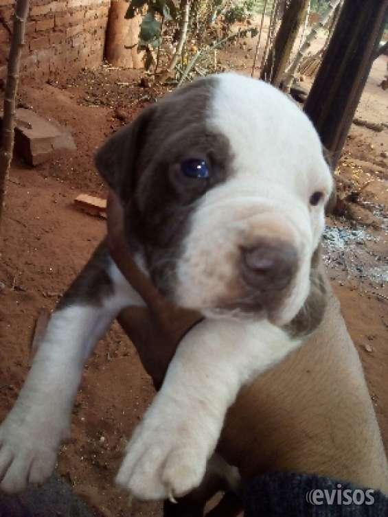 Fotos de Cachorros? pitbulls!!a la venta!! 3