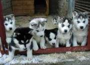 Cachorroshusky syberian masculinos y femeninos p…