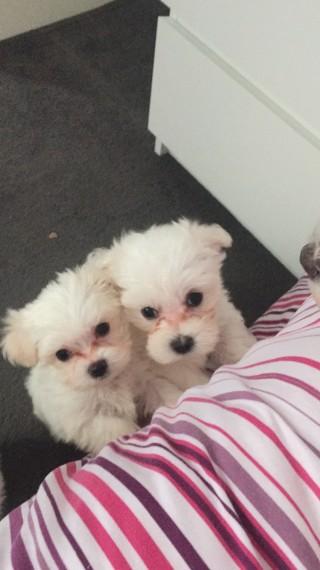 Cachorros malteses para la venta