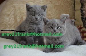 Los gatitos británicos de pelo corto entrenados